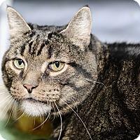 Domestic Shorthair Cat for adoption in Whitehall, Pennsylvania - Tigger