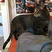 Bengal Cat for adoption in Phoenix, Arizona - Jingles McJones