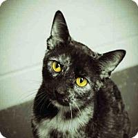 Domestic Mediumhair Cat for adoption in Decatur, Illinois - IDINA