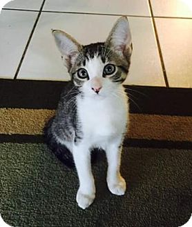 Domestic Shorthair Kitten for adoption in Deltona, Florida - Grayson