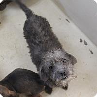 Adopt A Pet :: A31 Sophia - Odessa, TX