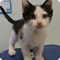 Adopt A Pet :: Major Mackerel - Bethesda, MD
