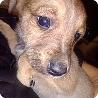 Adopt A Pet :: Shep Mix - Lima, PA