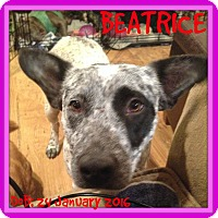 Adopt A Pet :: BEATRICE - White River Junction, VT