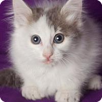 Adopt A Pet :: Lincoln - Gilbert, AZ