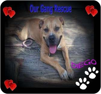 American Pit Bull Terrier Mix Dog for adoption in Cincinnati, Ohio - Diego