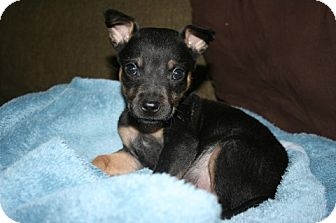 Miniature Pinscher Mix Puppy for adoption in Kingwood, Texas - Oliver