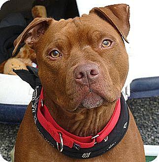 Pit Bull Terrier Dog for adoption in Carmel, New York - Harlie