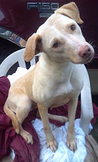 Labrador Retriever/Hound (Unknown Type) Mix Dog for adoption in Orange Lake, Florida - Lottie