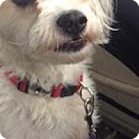 Adopt A Pet :: Jaxson-Courtesy Post - North Olmsted, OH