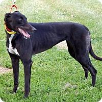 Adopt A Pet :: Luna - Florence, KY