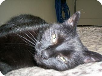 Domestic Shorthair Cat for adoption in New York, New York - Shadow