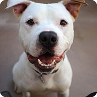 Adopt A Pet :: Joker - San Francisco, CA