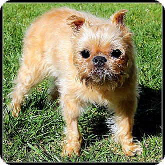 Brussels Griffon Dog for adoption in Seymour, Missouri - MR. WOO in  Los Angeles, CA.