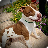American Pit Bull Terrier Mix Dog for adoption in Las Vegas, Nevada - Payton