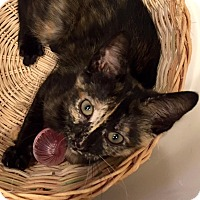 Adopt A Pet :: Lavaka - Addison, IL
