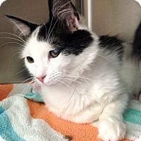 Domestic Shorthair Cat for adoption in Warwick, Rhode Island - Keira