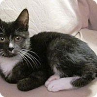 Manx Kitten for adoption in Lebanon, Pennsylvania - Bindi