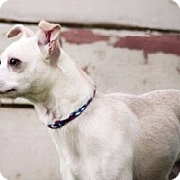 Chihuahua Mix Dog for adoption in Minneapolis, Minnesota - Hovis