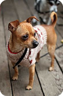Chihuahua Mix Dog for adoption in New York, New York - Sonny!