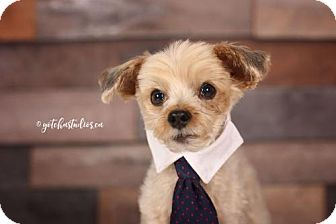 Yorkie, Yorkshire Terrier/Toy Poodle Mix Dog for adoption in Toronto, Ontario - Gily 3241