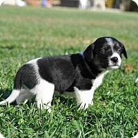 Adopt A Pet :: Olive - MCLEAN, VA