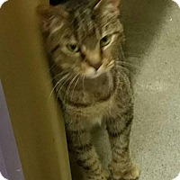 Domestic Mediumhair Cat for adoption in Franklin, Tennessee - POLLY