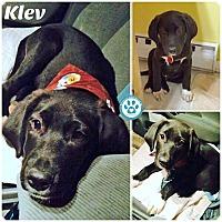Adopt A Pet :: Klev - Kimberton, PA