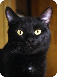 Domestic Shorthair Cat for adoption in Medford, Massachusetts - Leo