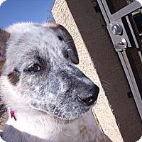 Adopt A Pet :: Painter - Adoption Pending - Phoenix, AZ