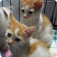 Adopt A Pet :: Orange/White Boy - Acme, PA