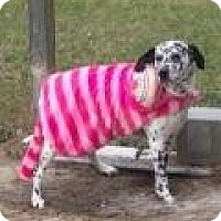 Dalmatian Dog for adoption in Mount Pleasant, South Carolina - Buddy