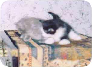 Domestic Shorthair Kitten for adoption in Fayette, Missouri - Charlemagne