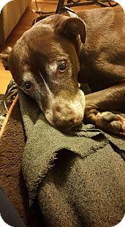 Labrador Retriever/Pit Bull Terrier Mix Dog for adoption in Dayton, Ohio - Howard