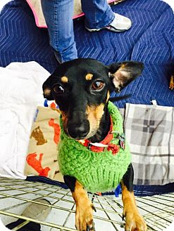 Dachshund Mix Dog for adoption in Pearland, Texas - Louise