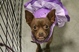 Miniature Pinscher/Chihuahua Mix Dog for adoption in Fountain Valley, California - Frannie