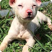 Adopt A Pet :: Willbur - Charlemont, MA