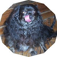 Adopt A Pet :: Cessper Long haired - Mtn Grove, MO