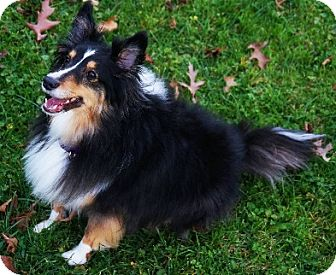 Sheltie, Shetland Sheepdog Dog for adoption in Pittsburgh, Pennsylvania - BELLA-Adopted