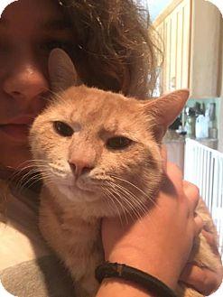 American Shorthair Cat for adoption in Palatine/Kildeer/Buffalo Grove, Illinois - Chris
