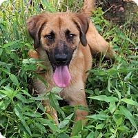 Shepherd (Unknown Type) Mix Dog for adoption in Texarkana, Arkansas - Faith