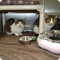 Domestic Shorthair Cat for adoption in Wheaton, Illinois - Naners & Woody