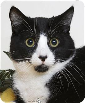 Domestic Shorthair Cat for adoption in Flagstaff, Arizona - Nemo