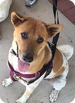 Shiba Inu/Shepherd (Unknown Type) Mix Dog for adoption in Austin, Texas - Cyril