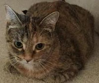 Domestic Shorthair Cat for adoption in Rochester, Michigan - Sprinkles