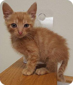 American Shorthair Kitten for adoption in Sawyer, North Dakota - Akamu