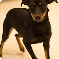 Adopt A Pet :: Violet - Pittsburg, KS