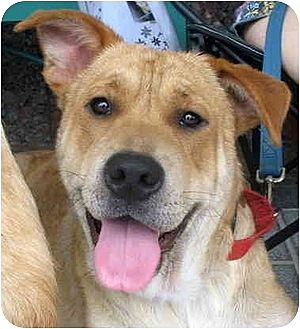 Golden Retriever/Shar Pei Mix Dog for adoption in Richmond, Virginia - Buddy