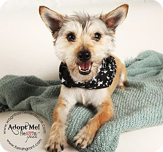 Cairn Terrier/Poodle (Miniature) Mix Dog for adoption in Omaha, Nebraska - Benji-adoption pending