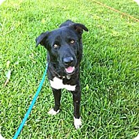 Border Collie/Labrador Retriever Mix Dog for adoption in Baton Rouge, Louisiana - White Sox